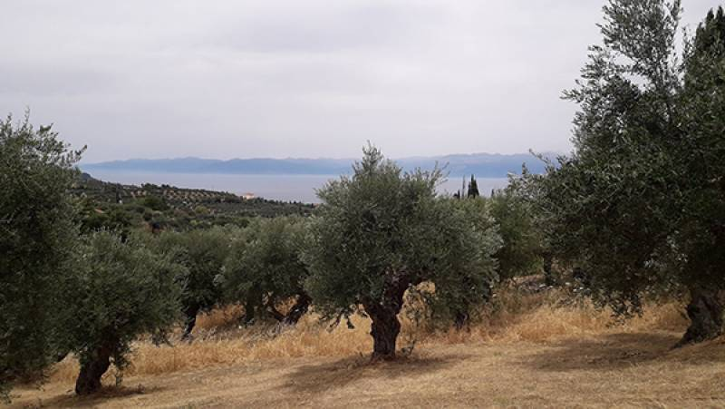 Applications for aid to olive growers