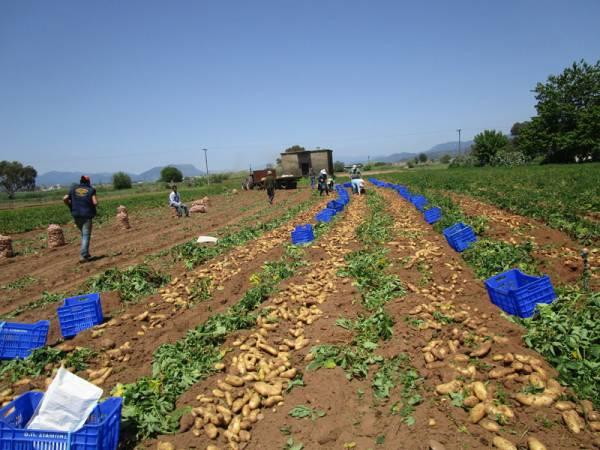 Μεσσηνία: Στα 35 λεπτά έπεσε η τιμή της πατάτας