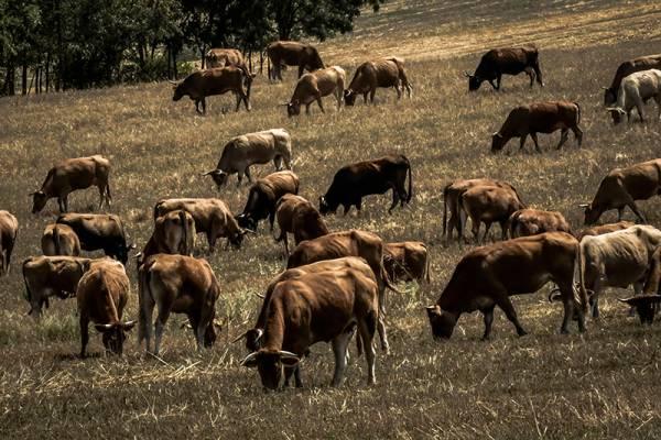 Συνεργείο στην Τριφυλία μαζεύει τα ανεπιτήρητα παραγωγικά ζώα