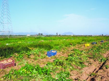 Προχωρά η διαδικασία για ΠΟΠ πατάτα Καλαμάτας