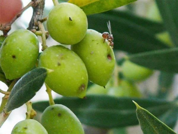 Ευνοϊκές οι καιρικές συνθήκες για το δάκο στην Τριφυλία