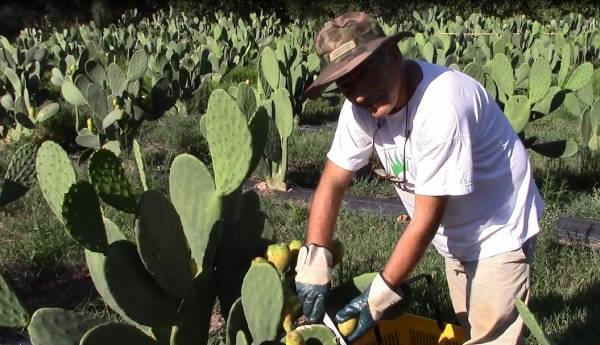 Στροφή στην καλλιέργεια των… ταπεινών φραγκόσυκων στη Μεσσηνία (βίντεο και φωτογραφίες)