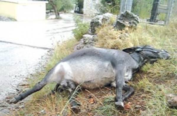 Κυνηγοί αγριογούρουνου σκότωσαν… γαϊδούρι