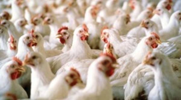 Ολλανδία:Απαγόρευση εκτροφής πτηνών λόγω Η5Ν8