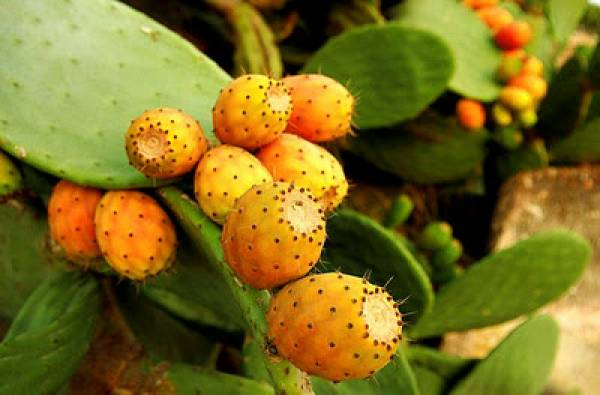 Ενώνονται στην Πελοπόννησο οι καλλιεργητές φραγκόσυκου