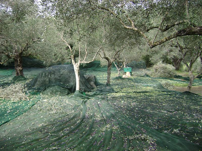 6.500 εργάτες γης θέλει η Μεσσηνία, όπως εκτιμούν οι γεωργικές υπηρεσίες του νομού (βίντεο)