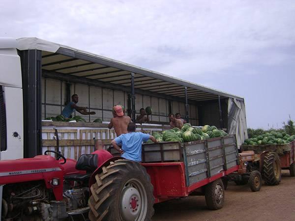 4.000 τόνοι καρπούζι έχουν  ήδη μαζευτεί στην Τριφυλία