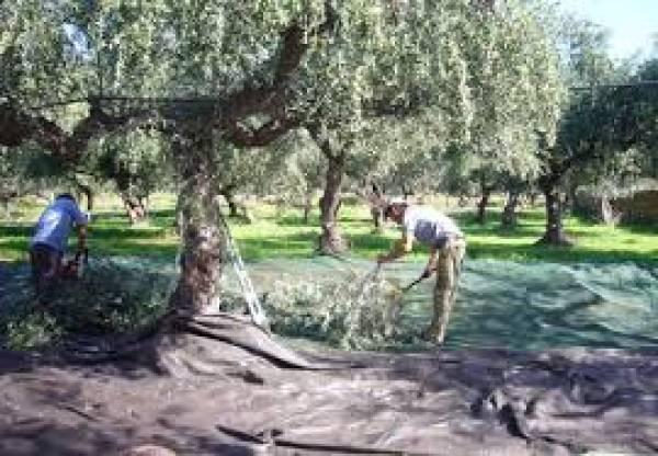 Η ελαιοκαλλιέργεια χρειάζεται υποδομές και όχι λιτανείες