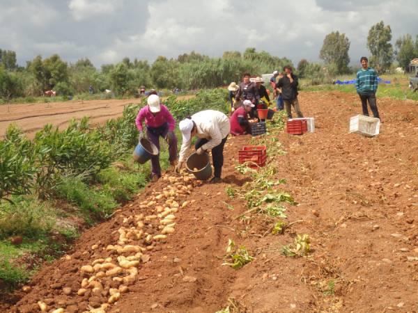 1.000 στρέμματα πατάτα λόγω τιμής στα χωράφια