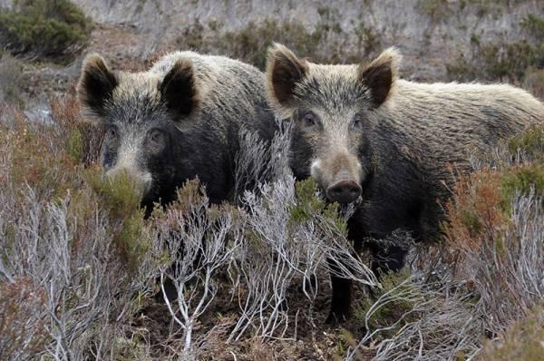 Περισσότερα αγριογούρουνα φέτος για τους κυνηγούς της Μεσσηνίας