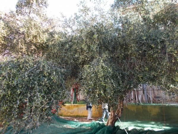 Μεσσηνία: Περιπολίες αστυνομικών για πρόληψη κλοπών κατά την ελαιοσυγκομιδή