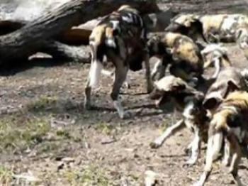 Τσακάλια και άγρια σκυλιά αποδεκατίζουν πρόβατα και κατσίκια