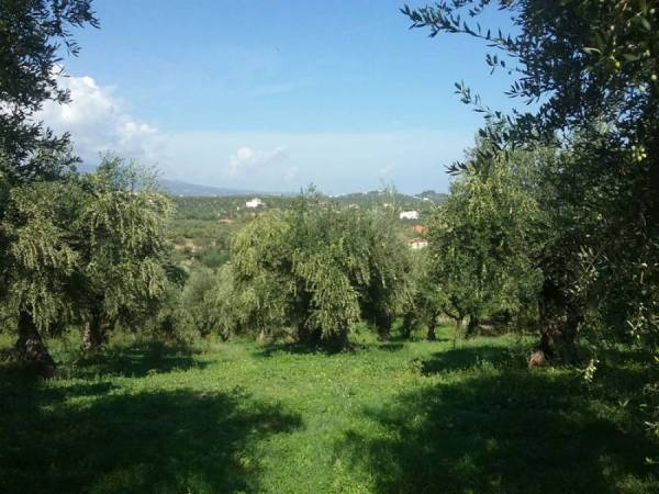 Στον αέρα το γεωργικό εισόδημα της Μεσσηνίας: «Τρώνε» τους αγρότες δάκος και δασικά