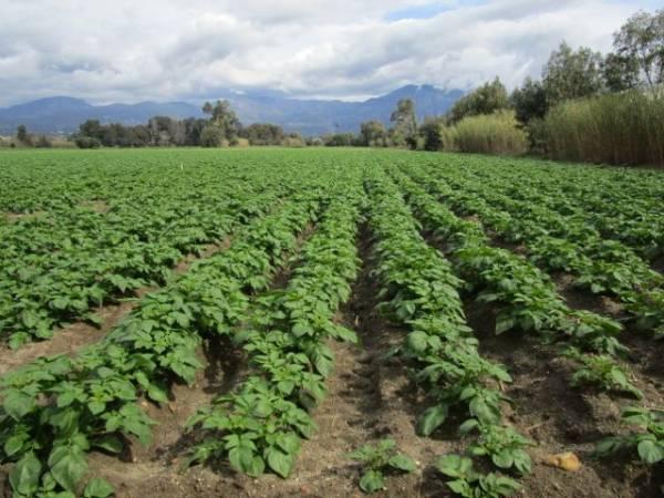 Γιατί η Μεσσηνία χάνει τη μάχη της πρώιμης πατάτας