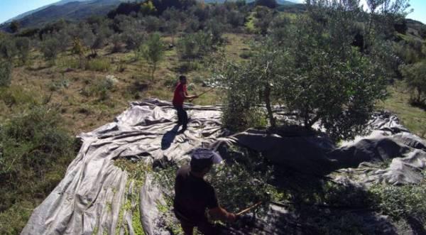 Απροστάτευτες από το δάκο 14 περιοχές της Μεσσηνίας (βίντεο)